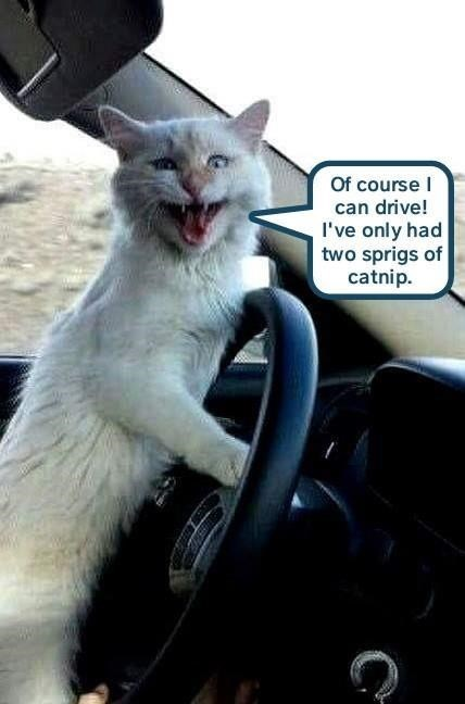 Cat - Of course can drive! I've only had two sprigs of catnip.