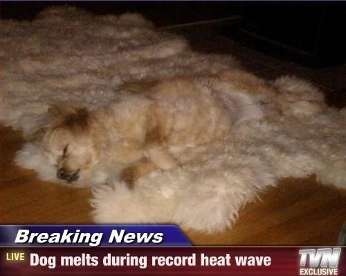 Canidae - Breaking News LIVE Dog melts during record heat wave EXCLUSIVE