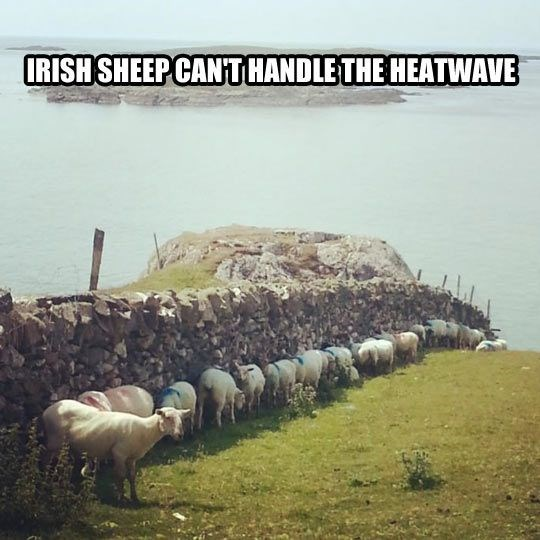 Herd - IRISH SHEEP CANTHANDLE THE HEATWAVE