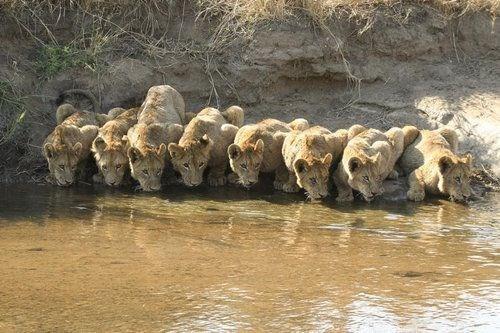 thirsty - Wildlife