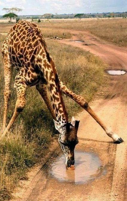 thirsty - Giraffe