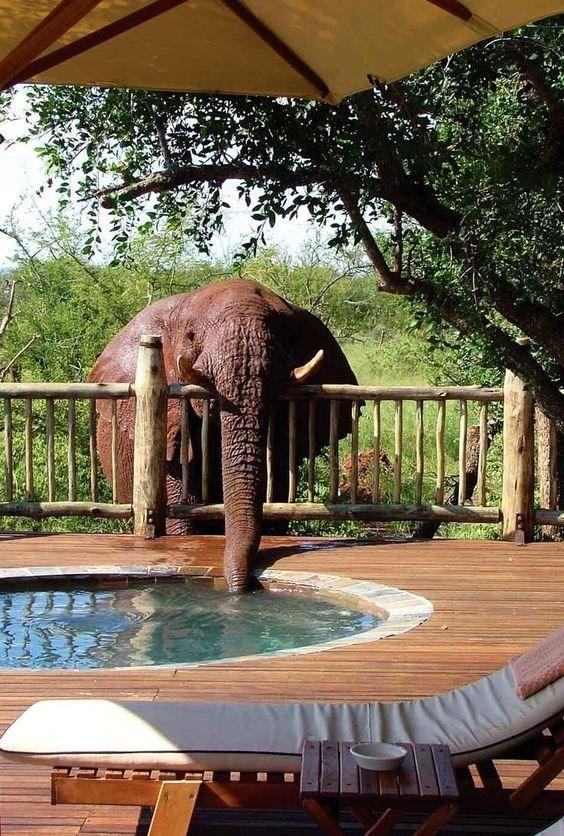 thirsty - Elephant