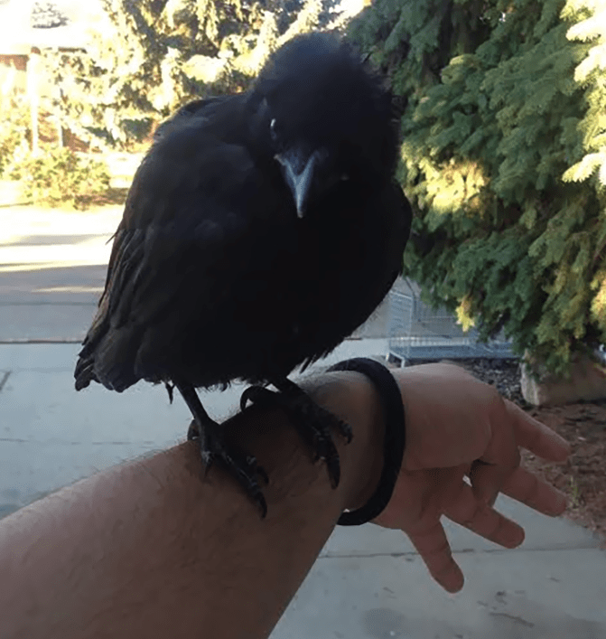 crow that was trained to be someone's pet