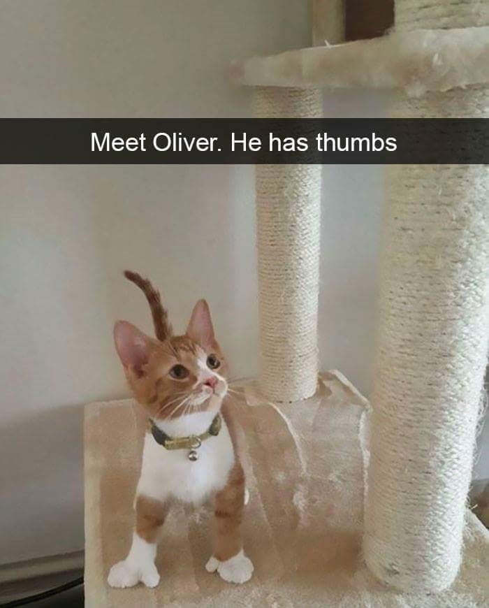 Cat - Meet Oliver. He has thumbs