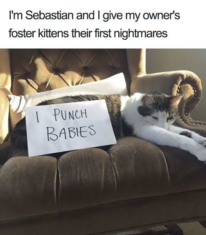 shaming - Text - I'm Sebastian and I give my owner's foster kittens their first nightmares I PUNCH BABIES