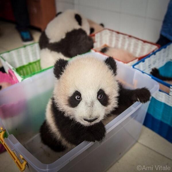 Panda - OAmi Vitale