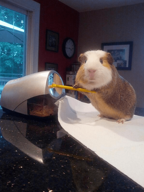 doing stuff,guinea pig,funny