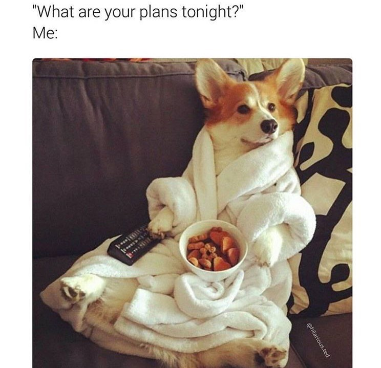 """Pembroke welsh corgi - """"What are your plans tonight?"""" Ме: @hilarious.ted"""