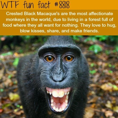 wtf facts - Vertebrate - WTF fun fact #8818 Crested Black Macaque's are the most affectionate monkeys in the world, due to living in a forest full of food where they all want for nothing. They love to hug, blow kisses, share, and make friends.
