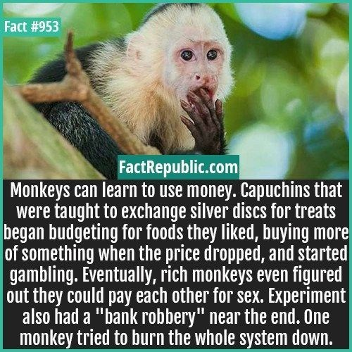 "wtf facts - New World monkey - Fact #953 FactRepublic.com Monkeys can learn to use money. Capuchins that were taught to exchange silver discs for treats |began budgeting for foods they liked, buying more of something when the price dropped, and started gambling. Eventually, rich monkeys even figured out they could pay each other for sex. Experiment also had a ""bank robbery"" near the end. One monkey tried to burn the whole system down."