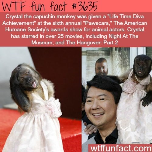 "wtf facts - Human - WTF fun fact #3635 Crystal the capuchin monkey was given a ""Life Time Diva Achievement"" at the sixth annual ""Pawscars,"" The American Humane Society's awards show for animal actors.Crystal has starred in over 25 movies, including Night At The Museum, and The Hangover: Part 2 wtffunfact.com"