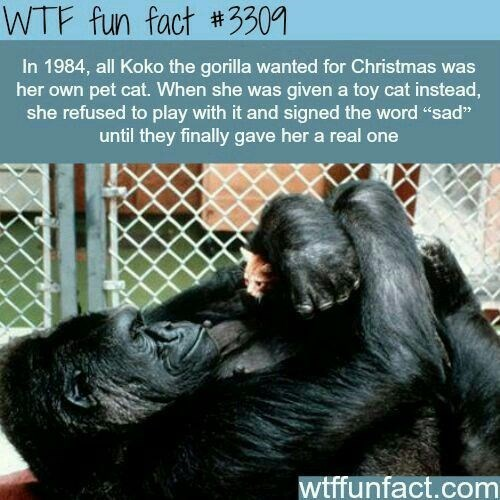 "wtf facts - Common chimpanzee - WTF fun fact #3301 In 1984, all Koko the gorilla wanted for Christmas was her own pet cat. When she was given a toy cat instead, she refused to play with it and signed the word ""sad"" until they finally gave her a real one wtffunfact.com"