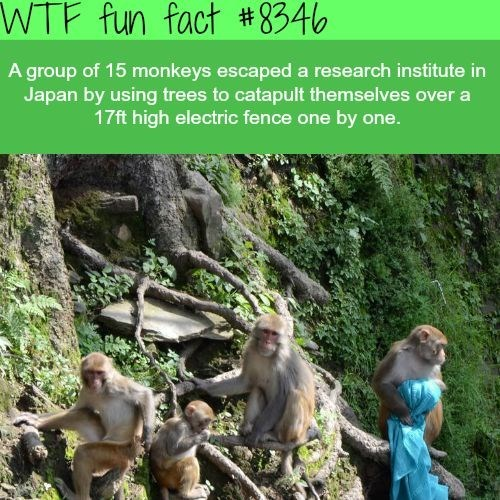 wtf facts - Nature - WTF fun fact # 8346 A group of 15 monkeys escaped a research institute in Japan by using trees to catapult themselves over a 17ft high electric fence one by one.