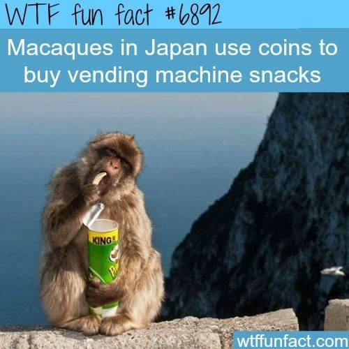 wtf facts - Macaque - WTF fun fact #812 Macaques in Japan use coins to buy vending machine snacks KINGS wtffunfact.com