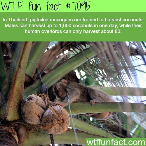 wtf facts - Plant - WTF fun fact #1095 In Thailand, pigtailed macaques are trained to harvest coconuts. Males can harvest up to 1,600 coconuts in one day, while their human overlords can only harvest about 80. wtffunfact.com