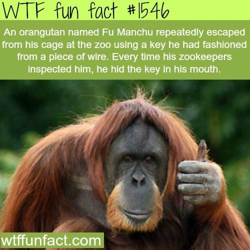 wtf facts - Mammal - WTF fun fact #546 An orangutan named Fu Manchu repeatedly escaped from his cage at the zoo using a key he had fashioned from a piece of wire. Every time his zookeepers inspected him, he hid the key in his mouth. wtffunfact.com