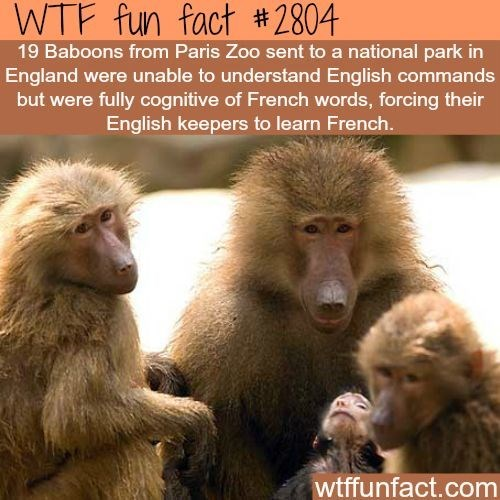 wtf facts - Mammal - WTF fun fact #2804 19 Baboons from Paris Zoo sent to a national park in England were unable to understand English commands but were fully cognitive of French words, forcing their English keepers to learn French. wtffunfact.com