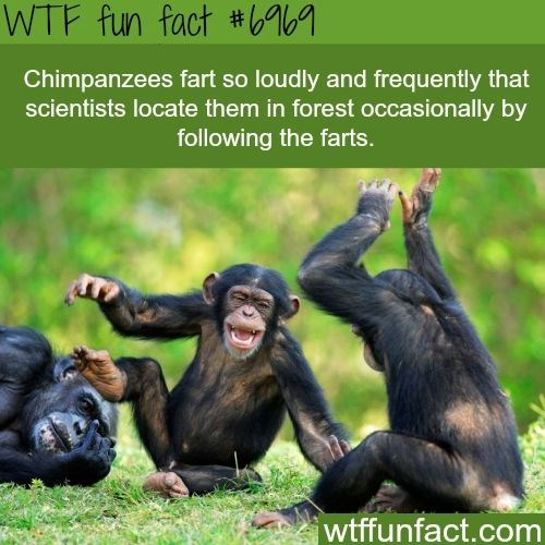 wtf facts - Common chimpanzee - WTF fun fact #b Chimpanzees fart so loudly and frequently that scientists locate them in forest occasionally by following the farts wtffunfact.com