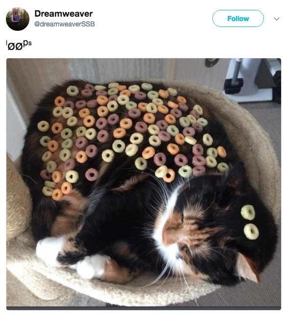 Cat - Dreamweaver Follow @dreamweaverSSB
