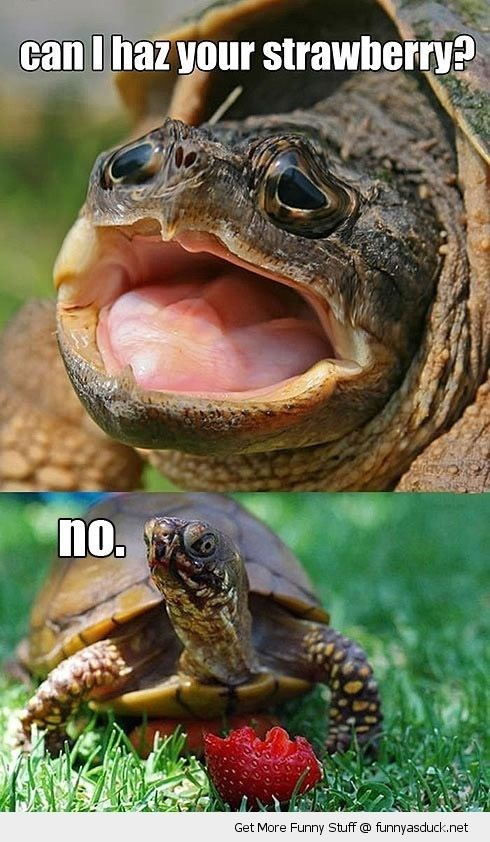 turtles meme - Vertebrate - can I haz your strawberry? no. Get More Funny Stuff @ funnyasduck.net O