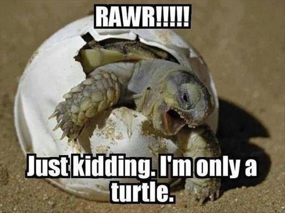 turtles meme - Tortoise - RAWR!!!!! Dust kidding. I'monly a turtle
