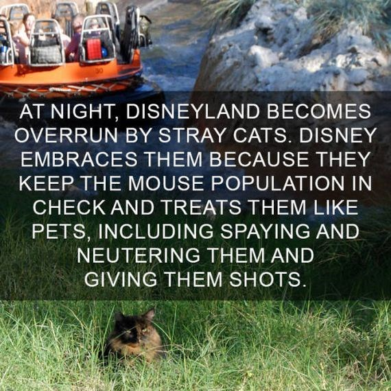 cat fact - Water - AT NIGHT, DISNEYLAND BECOMES OVERRUN BY STRAY CATS. DISNEY EMBRACES THEM BECAUSE THEY KEEP THE MOUSE POPULATION IN CHECK AND TREATS THEM LIKE PETS, INCLUDING SPAYING AND NEUTERING THEM AND GIVING THEM SHOTS.