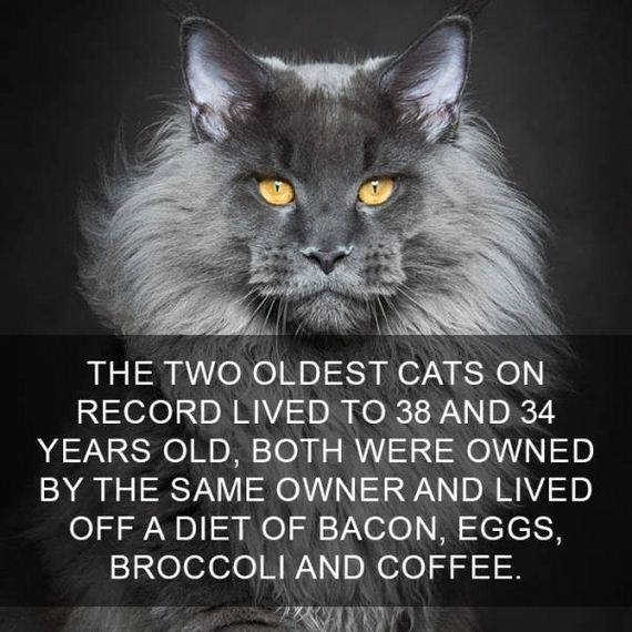 cat fact - Cat - THE TWO OLDEST CATS ON RECORD LIVED TO 38 AND 34 YEARS OLD, BOTH WERE OWNED BY THE SAME OWNER AND LIVED OFF A DIET OF BACON, EGGS, BROCCOLI AND COFFEE.