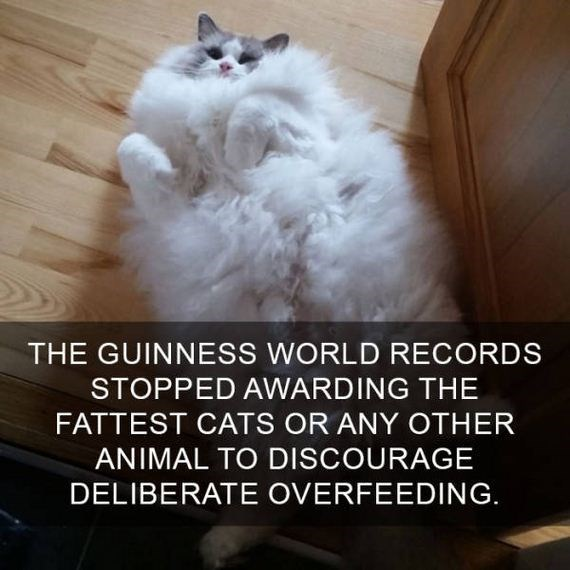 cat fact - Cat - THE GUINNESS WORLD RECORDS STOPPED AWARDING THE FATTEST CATS OR ANY OTHER ANIMAL TO DISCOURAGE DELIBERATE OVERFEEDING.