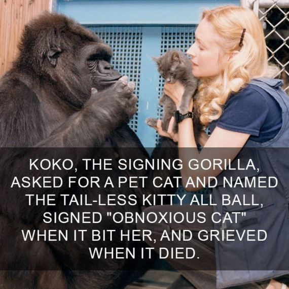 "cat fact - Photo caption - KOKO, THE SIGNING GORILLA, ASKED FOR A PET CAT AND NAMED THE TAIL-LESS KITTY ALL BALL, SIGNED ""OBNOXIOUS CAT"" WHEN IT BIT HER, AND GRIEVED WHEN IT DIED."