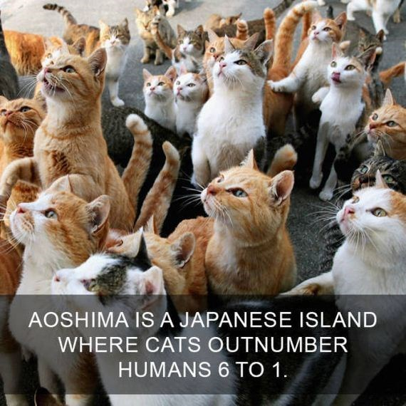 cat fact - Cat - AOSHIMA IS A JAPANESE ISLAND WHERE CATS OUTNUMBER HUMANS 6 TO 1.