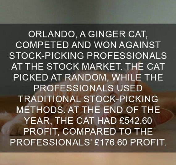 cat fact - Text - ORLANDO, A GINGER CAT, COMPETED AND WON AGAINST STOCK-PICKING PROFESSIONALS AT THE STOCK MARKET. THE CAT PICKED AT RANDOM, WHILE THE PROFESSIONALS USED TRADITIONAL STOCK-PICKING METHODS. AT THE END OF THE YEAR, THE CAT HAD £542.60 PROFIT, COMPARED TO THE PROFESSIONALS' £176.60 PROFIT.