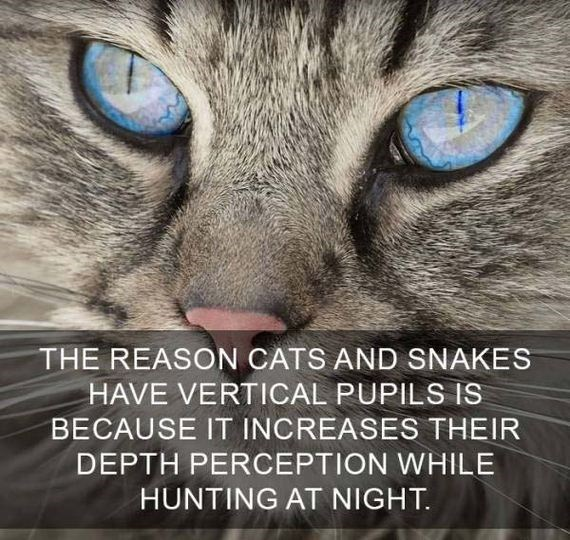 cat fact - Cat - THE REASON CATS AND SNAKES HAVE VERTICAL PUPILS IS BECAUSE IT INCREASES THEIR DEPTH PERCEPTION WHILE HUNTING AT NIGHT