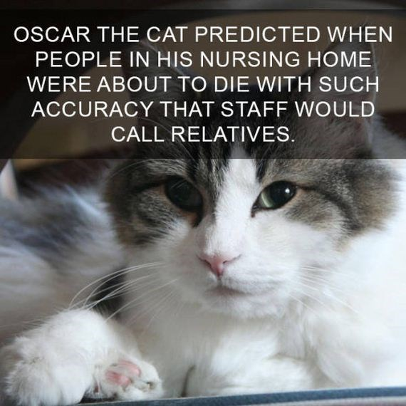 cat fact - Cat - OSCAR THE CAT PREDICTED WHEN PEOPLE IN HIS NURSING HOME WERE ABOUT TO DIE WITH SUCH ACCURACY THAT STAFF WOULD CALL RELATIVES.