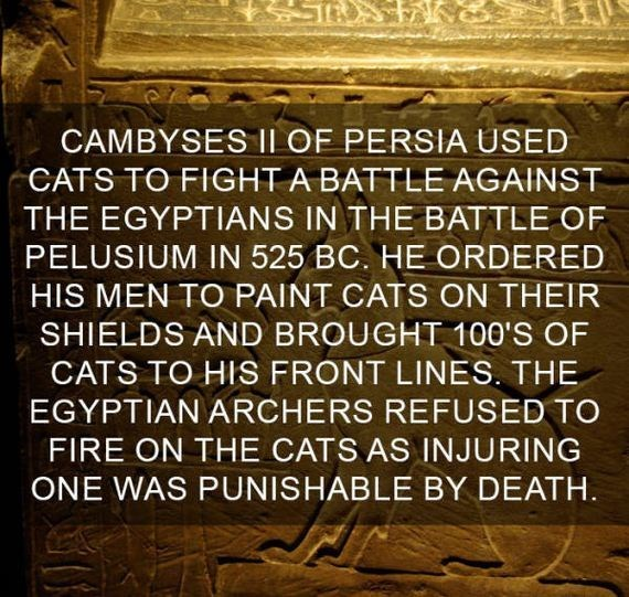 cat fact - Text - CAMBYSES ILOF PERSIA USED CATS TO FIGHT A BATTLE AGAINST THE EGYPTIANS IN THE BATTLE OF PELUSIUM IN 525 BC. HE ORDERED HIS MEN TO PAINT CATS ON THEIR SHIELDS AND BROUGHT 100'S OF CATS TO HIS FRONT LINES. THE EGYPTIAN ARCHERS REFUSED TO FIRE ON THE CATS AS INJURING ONE WAS PUNISHABLE BY DEATH