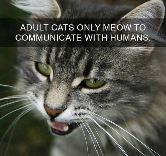 cat fact - Cat - ADULT CATS ONLY MEOW TO COMMUNICATE WITH HUMANS.