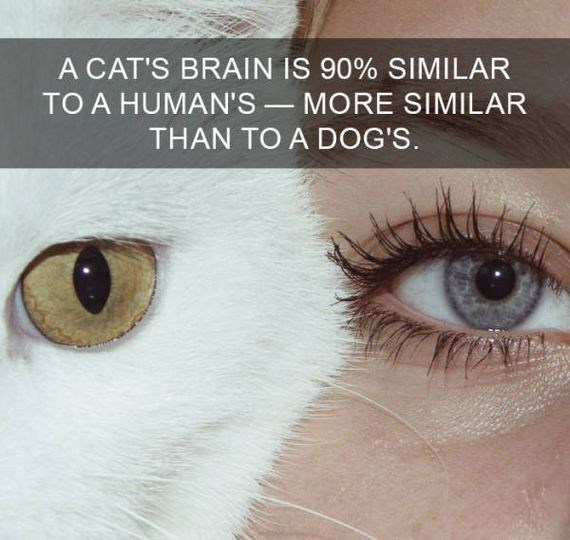cat fact - Eyebrow - A CAT'S BRAIN IS 90% SIMILAR TO A HUMAN'S- MORE SIMILAR THAN TO A DOG'S.
