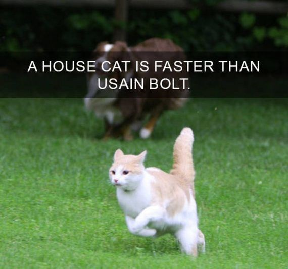 cat fact - Mammal - A HOUSE CAT IS FASTER THAN USAIN BOLT