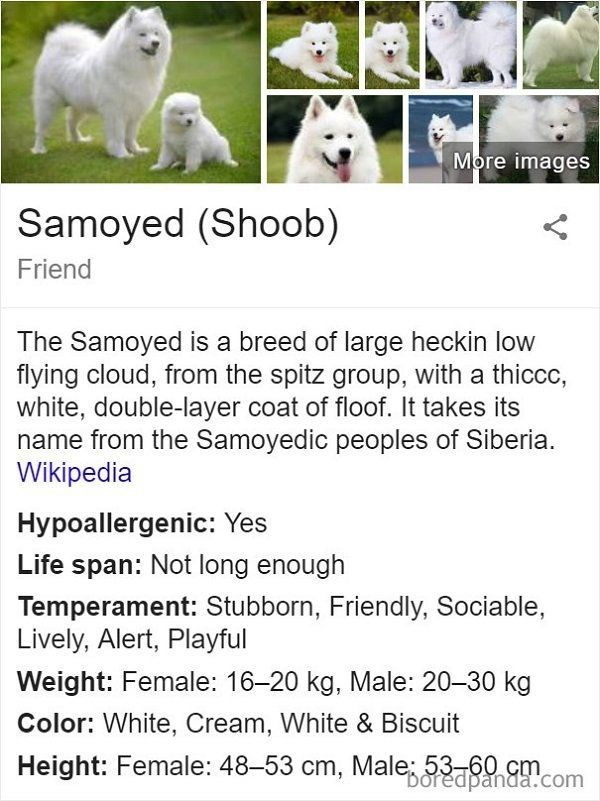 Canidae - More images Samoyed (Shoob) Friend The Samoyed is a breed of large heckin low flying cloud, from the spitz group, with a thiccc, white, double-layer coat of floof. It takes its name from the Samoyedic peoples of Siberia. Wikipedia Hypoallergenic: Yes Life span: Not long enough Temperament: Stubborn, Friendly, Sociable, Lively, Alert, Playful Weight: Female: 16-20 kg, Male: 20-30 kg Color: White, Cream, White & Biscuit Height: Female: 48-53 cm, Male 53 60 cm Doredpanda.com