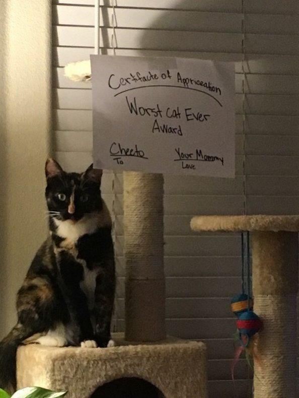 caturday - Cat - Certfacte ot Agprieakon Worst Cat Eves Award Yor Many Checdo Lave To