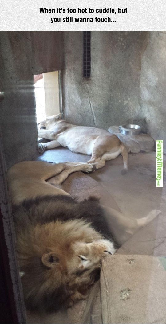 Lion - When it's too hot to cuddle, but you still wanna touch... Funniest meme.com