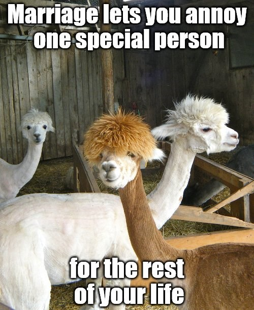 Alpaca - Marriage lets you annoy one special person for the rest ofyour life