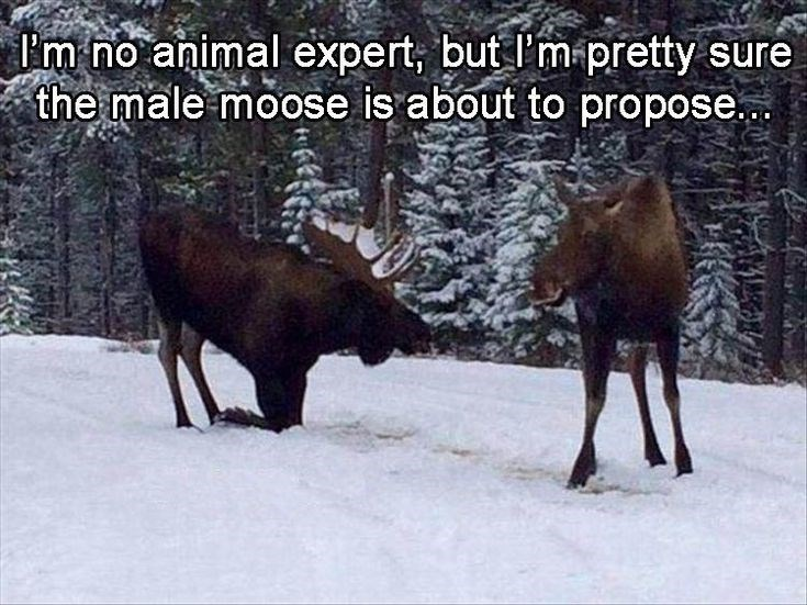 Wildlife - I'm no animal expert, but l'm-pretty sure the male moose is about to propose..
