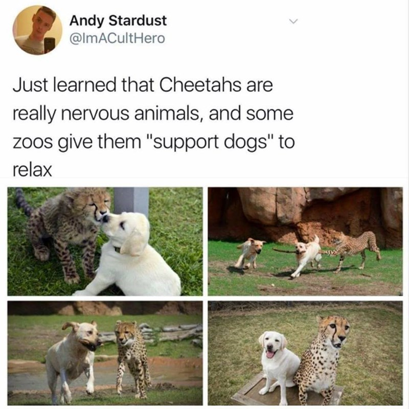 "Tweet that reads, ""Just learned that cheetahs are really nervous animals, and some zoos give them 'support dogs' to relax"" with pictures of a cute puppy with a cute baby cheetah"