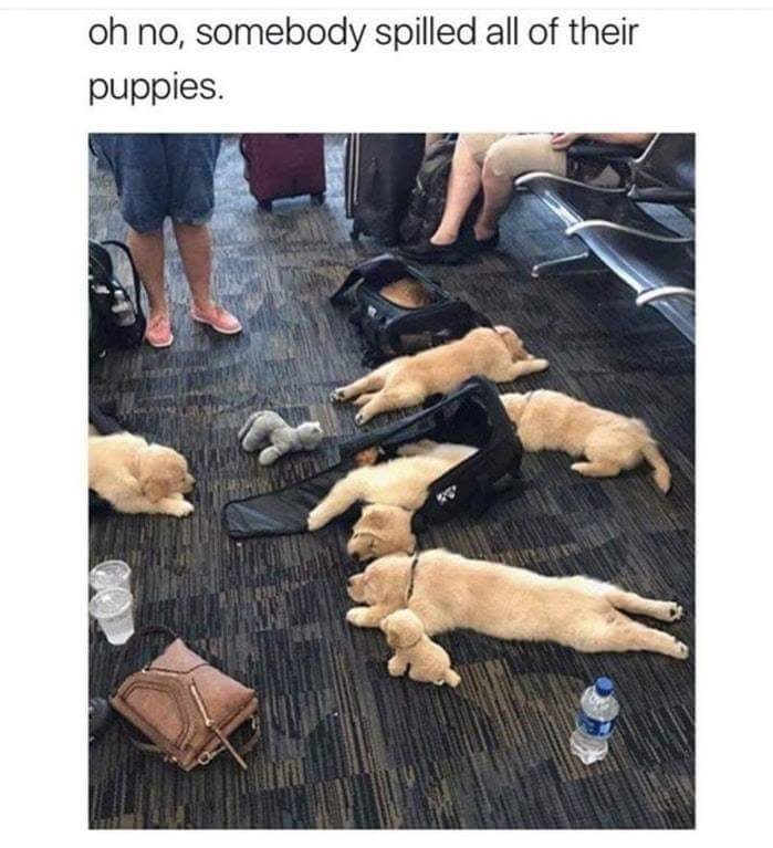 happy meme of puppies laying all over an airport floor