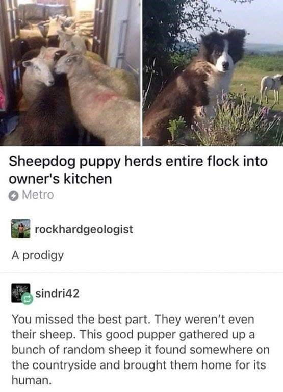 happy meme of a sheepdog that brought all the sheep to the kitchen