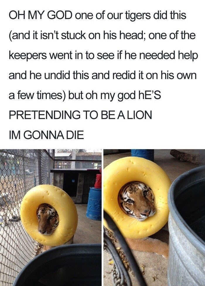 Food - OH MY GOD one of our tigers did this (and it isn't stuck on his head; one of the keepers went in to see if he needed help and he undid this and redid it on his own a few times) but oh my god hE'S PRETENDING TO BE A LION IM GONNA DIE