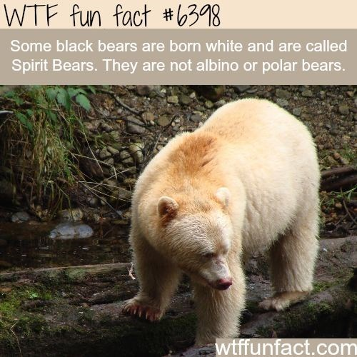 wtf facts - Vertebrate - WTF fun fact #b38 Some black bears are born white and are called Spirit Bears. They are not albino or polar bears. wtffunfact.com