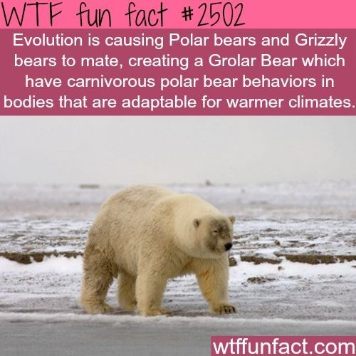 wtf facts - Polar bear - WTF fun fact #2502 Evolution is causing Polar bears and Grizzly bears to mate, creating a Grolar Bear which have carnivorous polar bear behaviors in bodies that are adaptable for warmer climates. wtffunfact.com