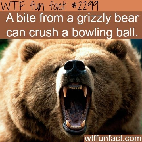 wtf facts - Grizzly bear - WTF fun fact #2291 A bite from a grizzly bear can crush a bowling ball. wtffunfact.com