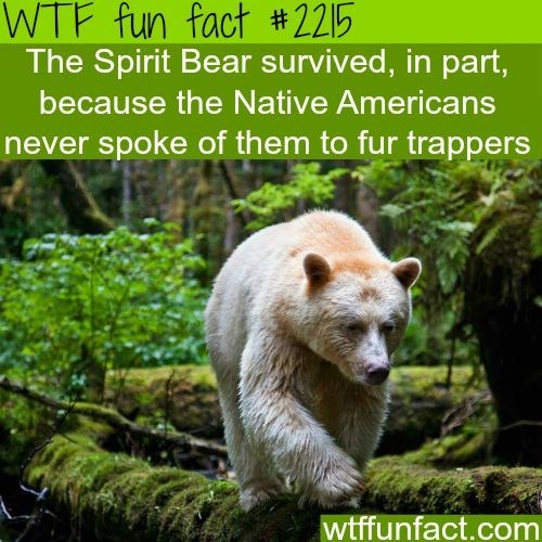 wtf facts - Nature - WTF fun fact #2215 The Spirit Bear survived, in part, because the Native Americans never spoke of them to fur trappers wtffunfact.com